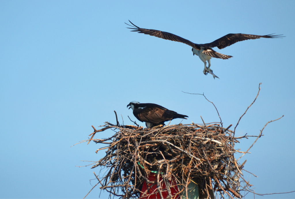 An osprey nest on a channel marker in the bay.