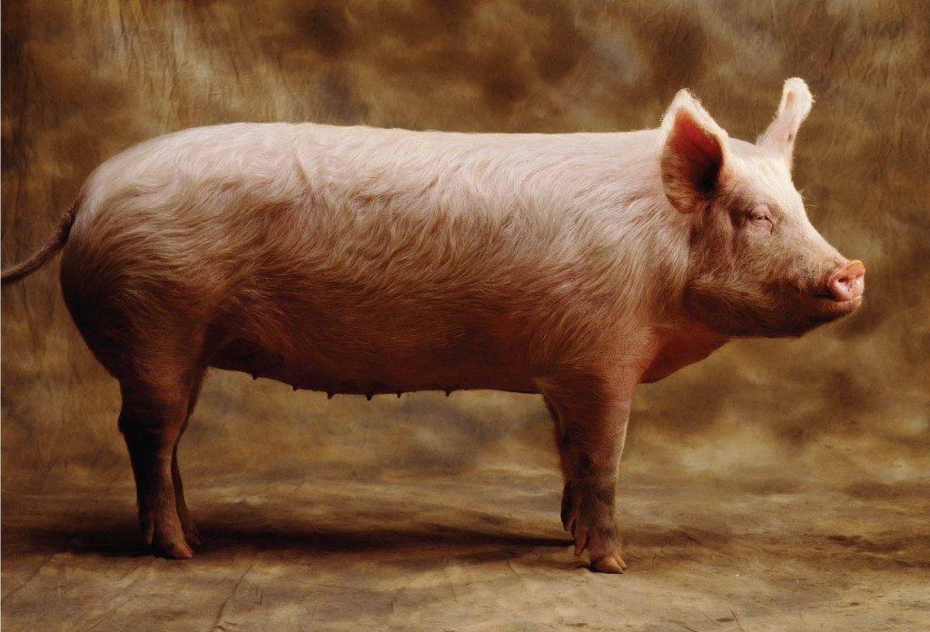 A corpulent pig with nice big breast a nice small female cat and very mischievous 9