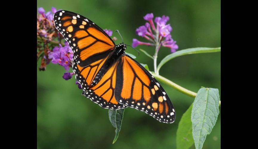 monarchbutterflykojo