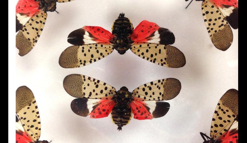 spottedlanternfly1