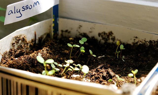Alyssum growing in a milk carton on a windowsill in Washington, D.C.