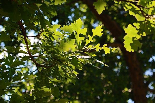An oak bur tree