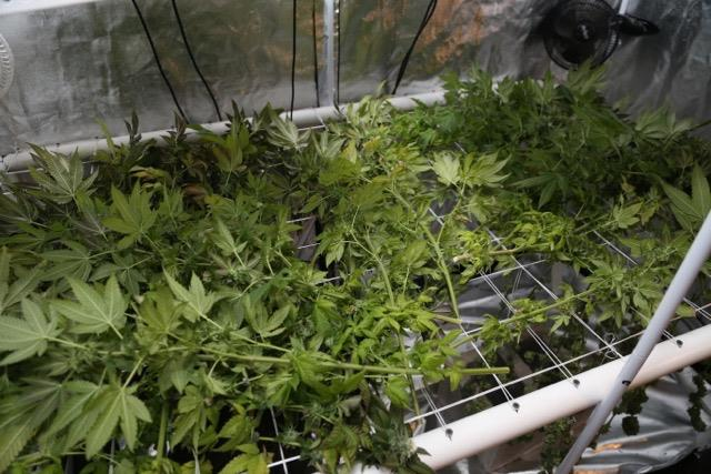 Freshly cut marijuana plants from @dr.peso's crop. Photo courtesy of @dr.peso.