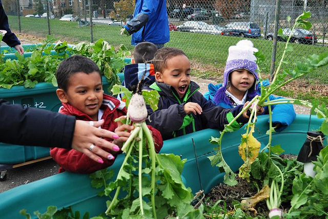 Powell Elementary School children pulling beets from their Habitat Garden in Washington, D.C. on Dec. 13, 2012 were surprised also find turnips growing in the garden.