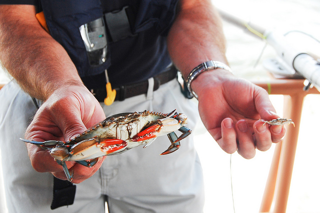 A scientist holds an adult and a juvenile blue crab.