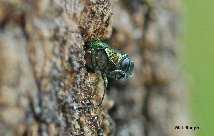 Emerald ash borers are an invasive species that arrived in the United States from Asia.