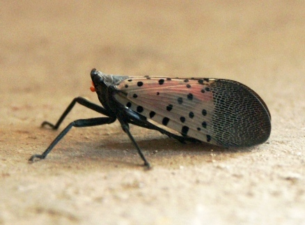 A spotted lanternfly