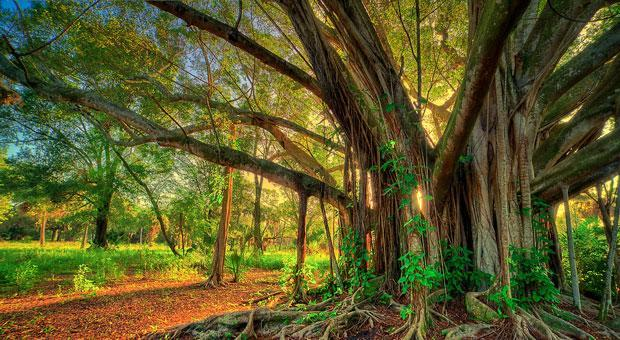 This large banyan tree sits at Riverbend Park in Jupiter, Fla.