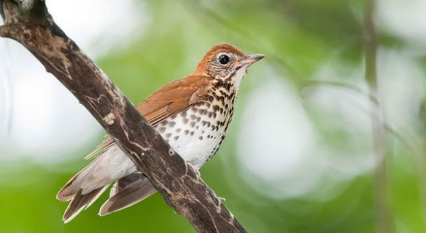 "Wood Thrush, the official bird of Washington D.C., was named to the ""watch list"" of bird species most in need of conservation action in the 2014 State of the Birds annual report."