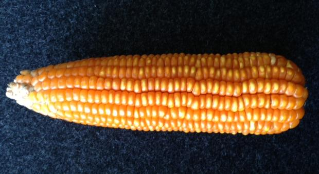Carotene-enhanced maize bred conventionally by Harvest Plus.